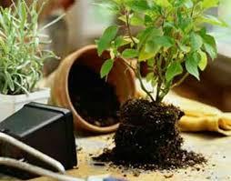 رسیدگی به گیاهان آپارتمانی و تعویض گلدان